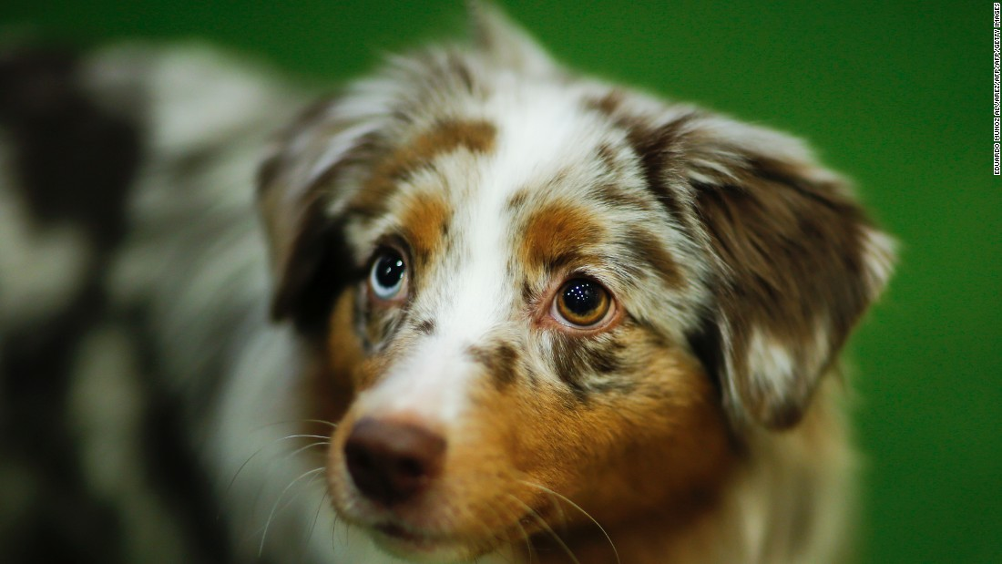 "Compared to its fellow newcomers, <a href=""http://www.westminsterkennelclub.org/breedinformation/herding/minamshep.html"" target=""_blank"">the Miniature American Shepherd is a recent breed</a>, developed in the U.S. in the late 1960s. This small dogs are known for their curiosity, versatility and, according to the Westminster Kennel Club <a href=""http://www.westminsterkennelclub.org/breedinformation/herding/minamshep.html"" target=""_blank"">profile</a>, ""wicked sense of humor."""