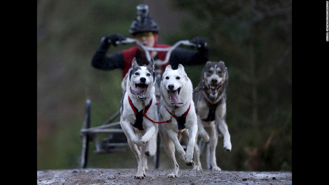 Sled dogs race in Aviemore, Scotland, on Saturday, January 23.