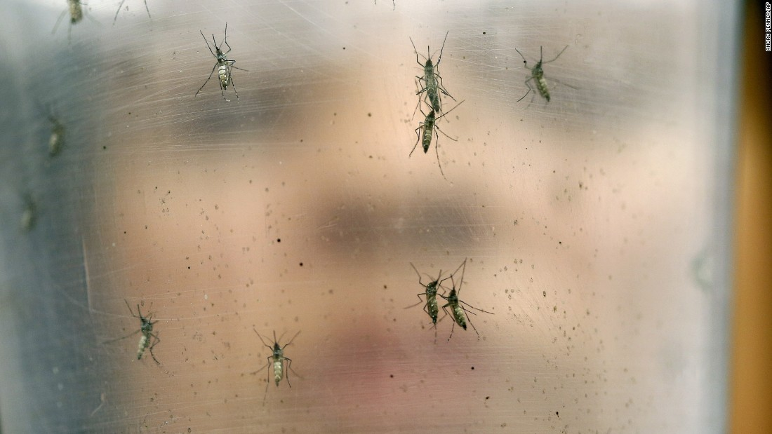A researcher at the University of Sao Paulo holds a container with female Aedes aegypti mosquitoes on Monday, January 18.