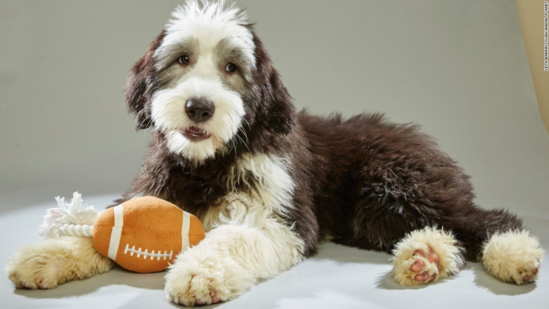 "Old English sheepdog Gryffin likes shaggy dog stories. He was recruited from <a href=""http://www.floridalittledogrescue.com/"" target=""_blank"">Florida Little Dog Rescue</a>."