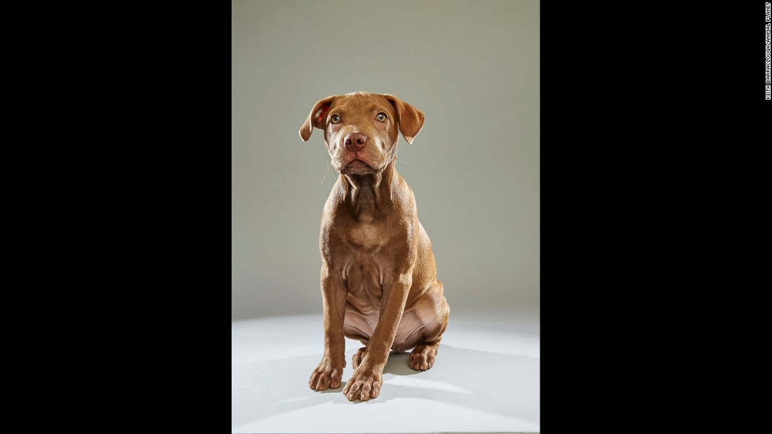 "Pit bull Harper hails from the <a href=""http://www.adoptwcac.org/"" target=""_blank"">Williamson County Animal Center</a> in Tennessee. Puppy Bowl viewers at home have the option of creating a custom team for the Puppy Bowl Fantasy Game."