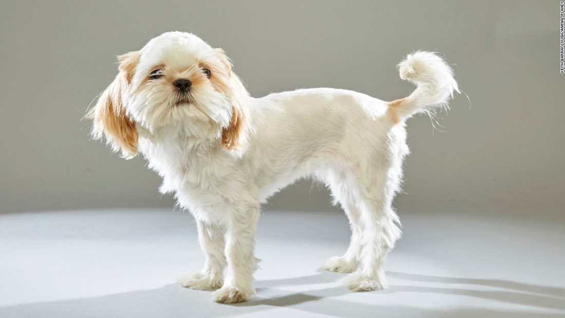 "Shih Tzu Buttons hails from <a href=""http://www.stellashope.org/"" target=""_blank"">Stella's Hope</a> rescue in Orange County, California."
