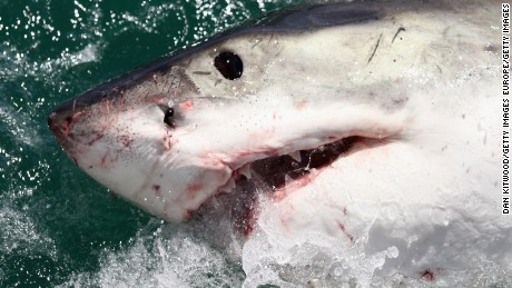 Great white sharks in South Africa on the path to extinction, study says