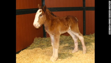 Mac will train to become a Budweiser Clydesdale in Boonville, Missouri.