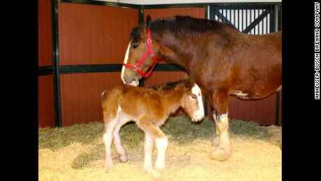 Meet the newest horse to join the Budweiser Clydesdale family.