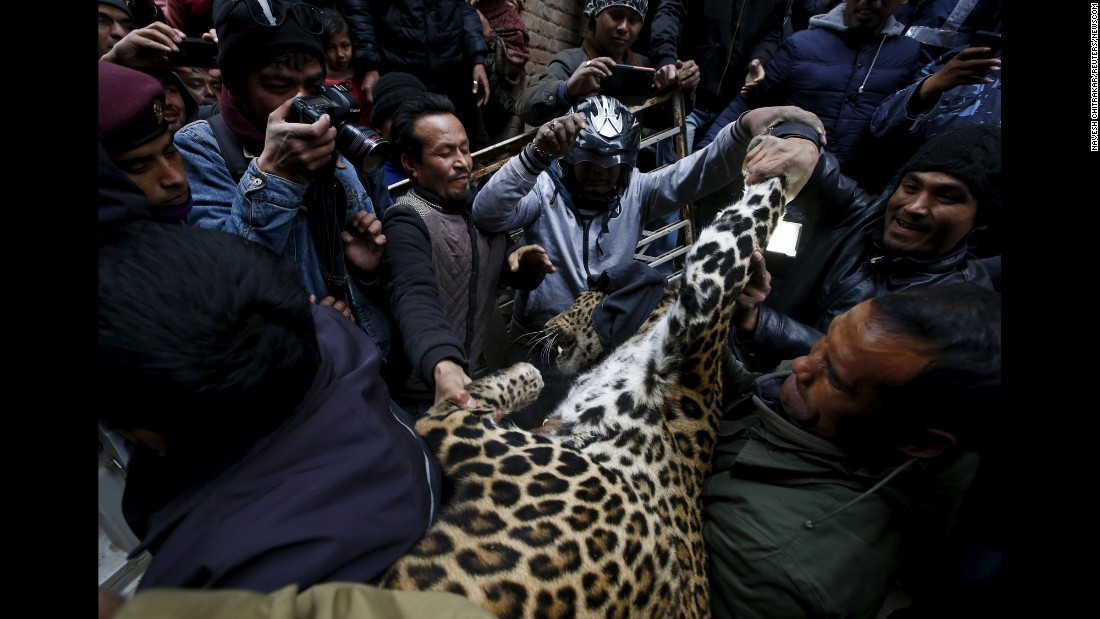 "A tranquilized leopard is carried out from a house where it <a href=""http://kathmandupost.ekantipur.com/news/2016-01-23/woman-hurt-in-leopard-attack.html"" target=""_blank"">injured a person</a> in Kirtipur, Nepal, on Friday, January 22."