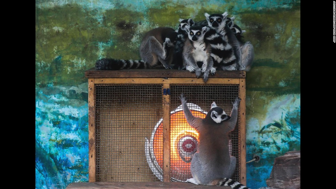 Lemurs warm themselves by an electric radiator at a zoo in Chengdu, China, on Friday, January 22.