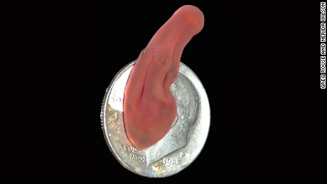 The deep sea worm, pictured here on a U.S. dime, sits at the bottom of the evolutionary tree.