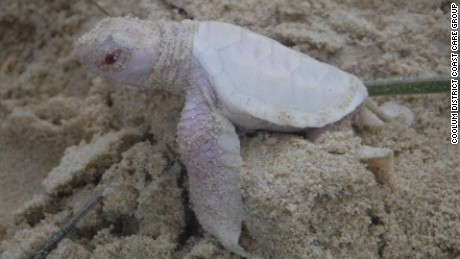 Rare albino turtle found on Australia beach
