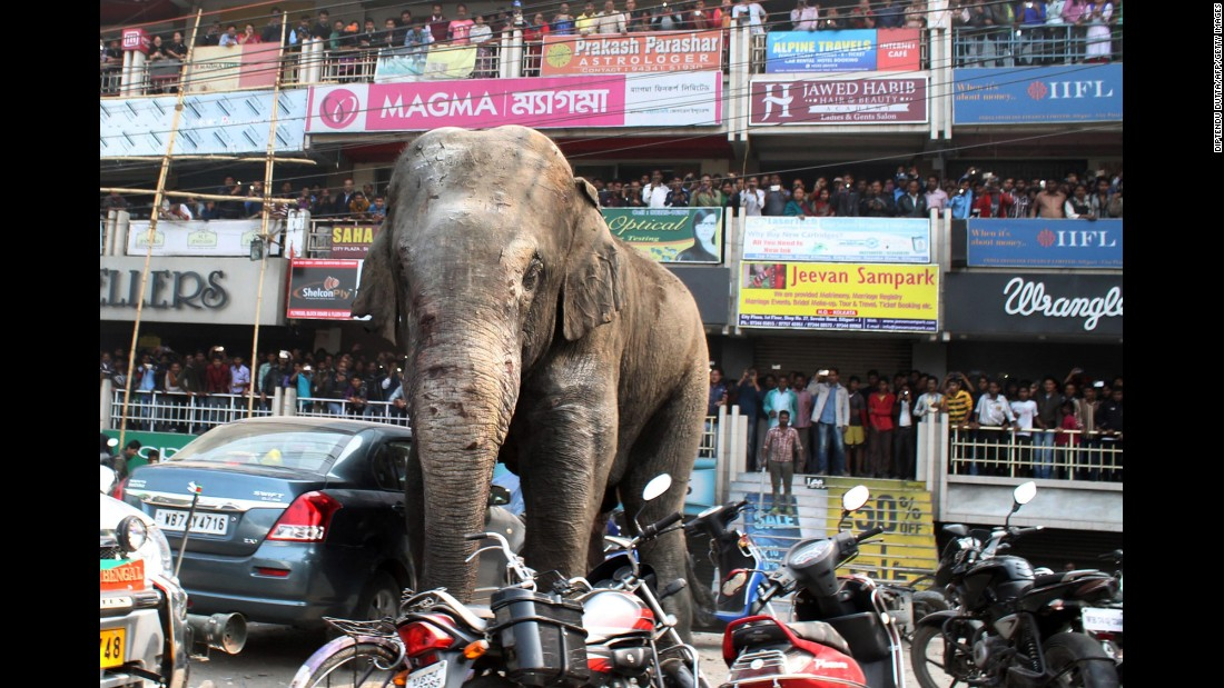 People watch the elephant as he walks along a busy street.