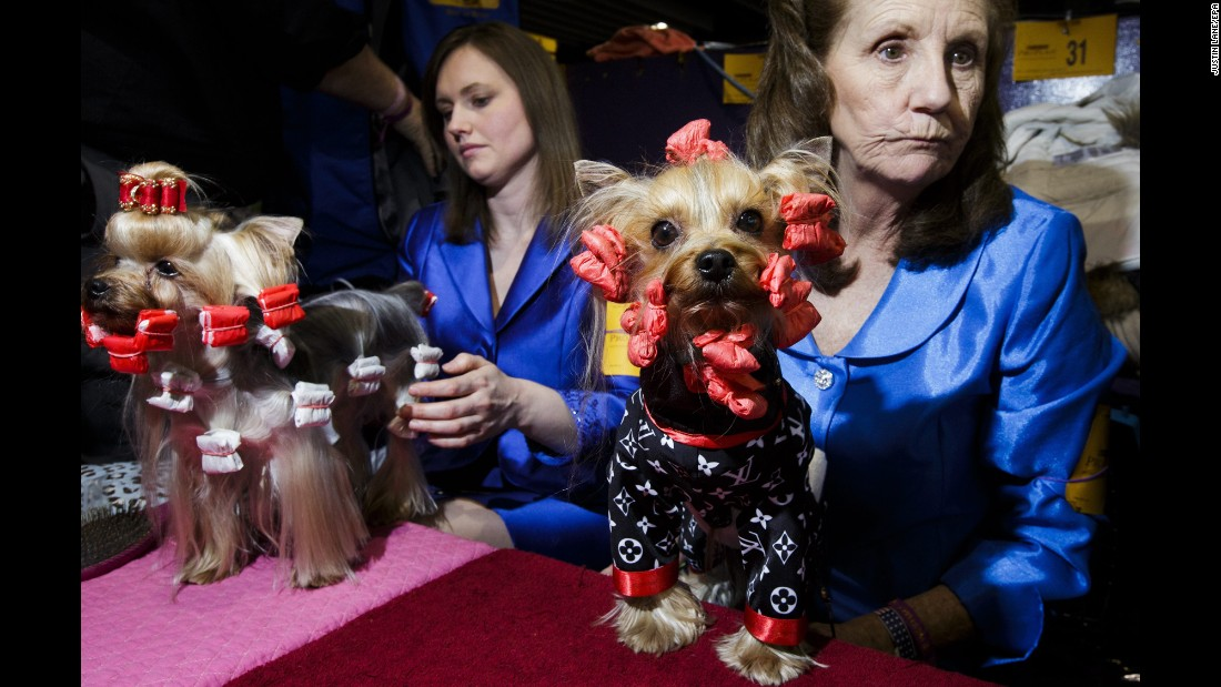 A Yorkshire terrier named Ranger, right, prepares to compete during the first day of the show. Close to 3,000 dogs from all over the country participate in the annual competition.