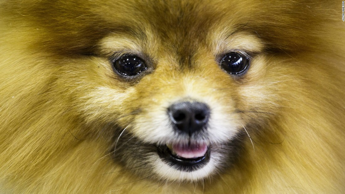A Pomeranian named Tyche waits to compete; 192 dog breeds and varieties are eligible to enter the competition.