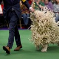 09 westminster dog show