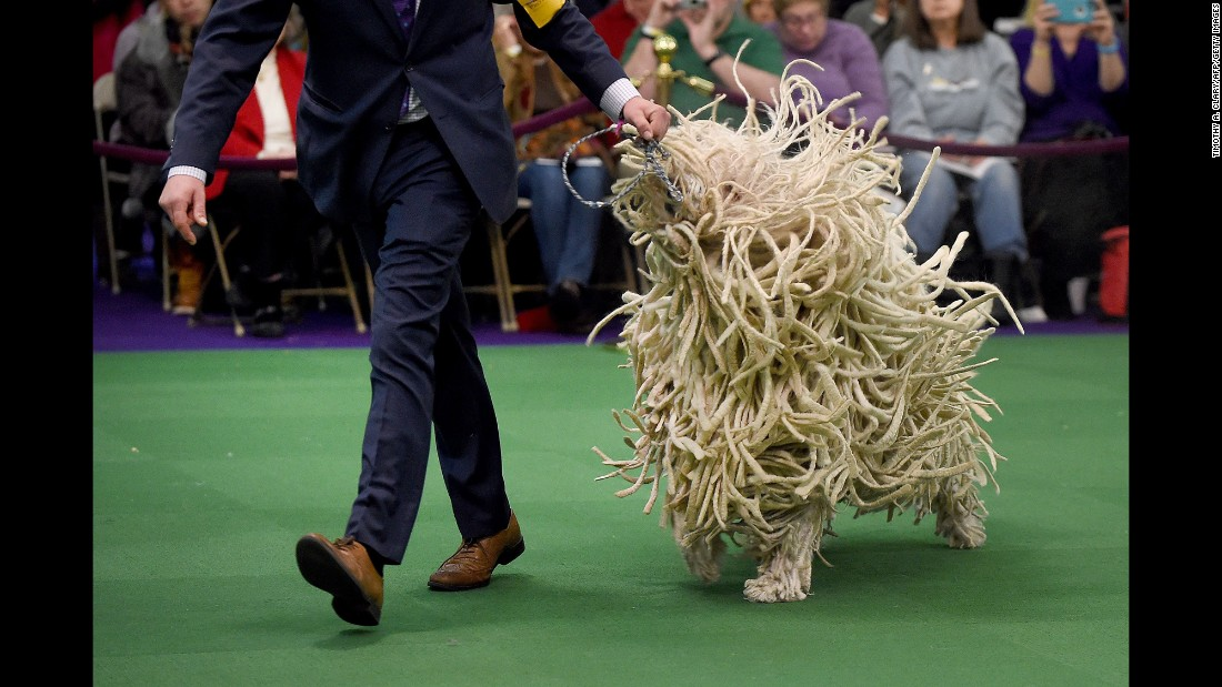 A Komondor is seen in the judging ring on Tuesday, February 16.