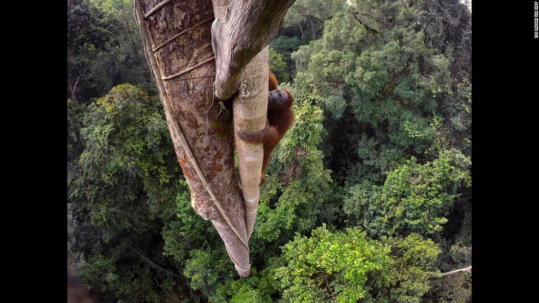 A Bornean orangutan climbs up a tree in Indonesia's Gunung Palung National Park on August 12. Fires, deforestation and the illegal animal trade have resulted in many orphan orangutans ending up at rehabilitation centers.