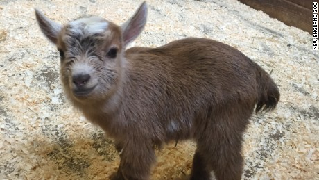 A cuddly Nigerian dwarf goat was born in Boston this week.