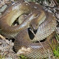 kenilworth_Mole snake compressed KRCA