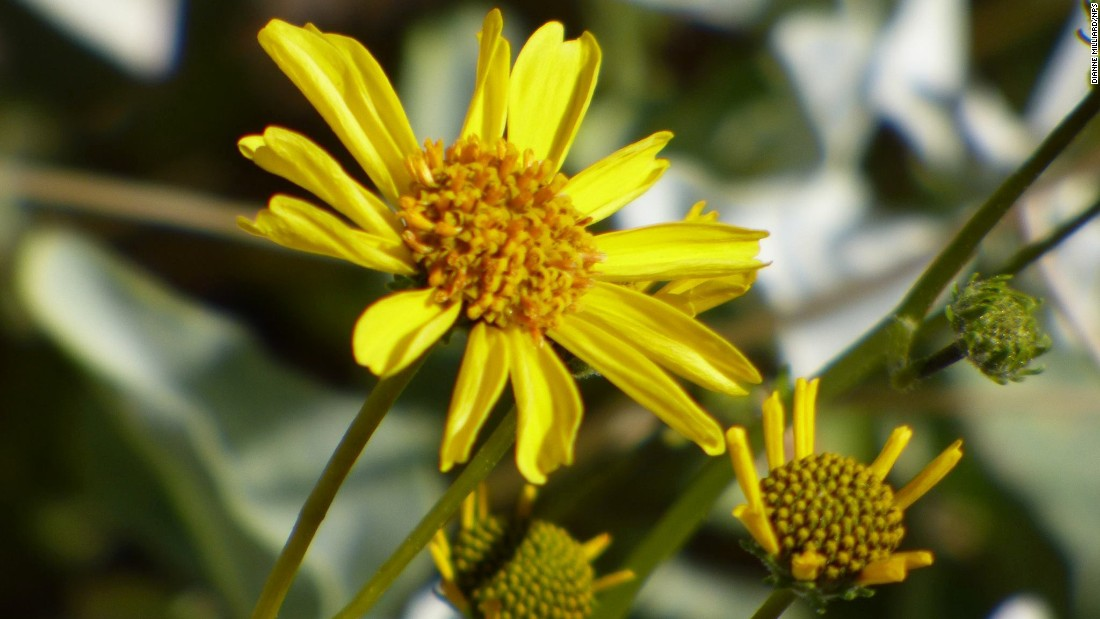 Pictured here is Brittlebush (Encelia farinosa). The plant is a mid-sized shrub and is a part of the sunflower family. It features small yellow flowers and can be found in deserts.