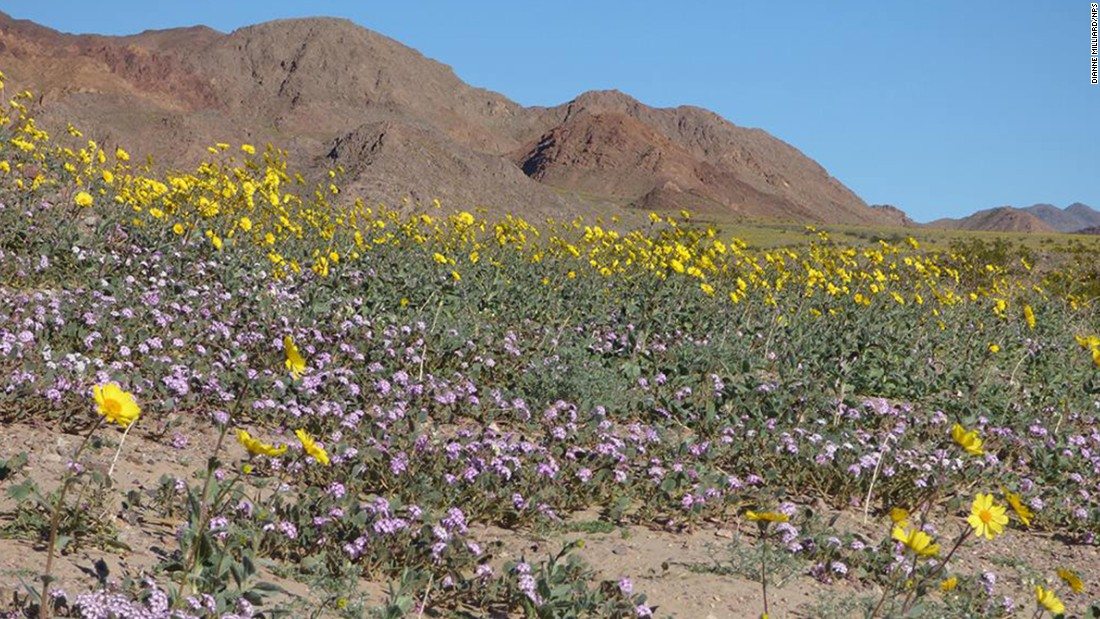The wildflowers, such as the Sand Verbena and Desert Gold blooms pictured here, are projected to stay in the valley as long as there is rain. But the area's droughts and desert winds make it hard for flowers to survive.