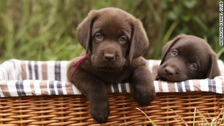 Labrador retriever named most popular dog breed