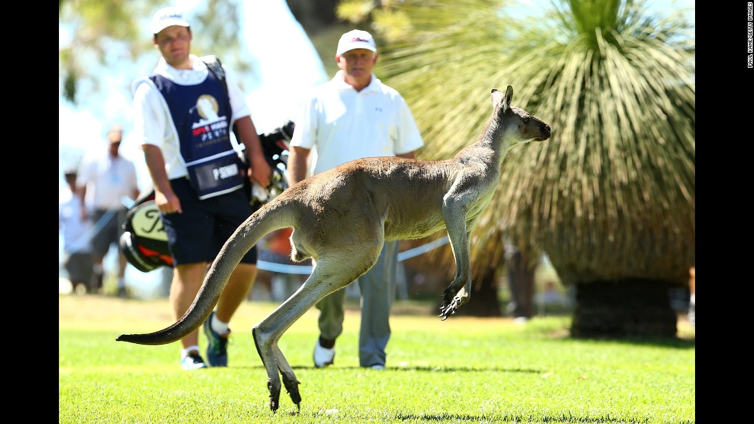 A kangaroo jumps in front of Peter Senior and his caddie during the Perth International, a golf tournament in Perth, Australia, on Friday, February 26.