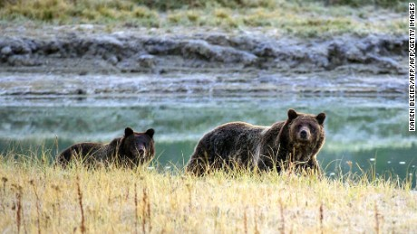A Grizzly bear mother and her cub in Yellowstone National Park.