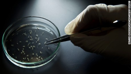 Aedes aegypti mosquitos are seen in containers at a lab of the Institute of Biomedical Sciences of the Sao Paulo University, on January 8, 2016 in Sao Paulo, Brazil. Researchers at the Pasteur Institute in Dakar, Senegal are in Brazil to train local researchers to combat the Zika virus epidemic. / AFP / NELSON ALMEIDA        (Photo credit should read NELSON ALMEIDA/AFP/Getty Images)