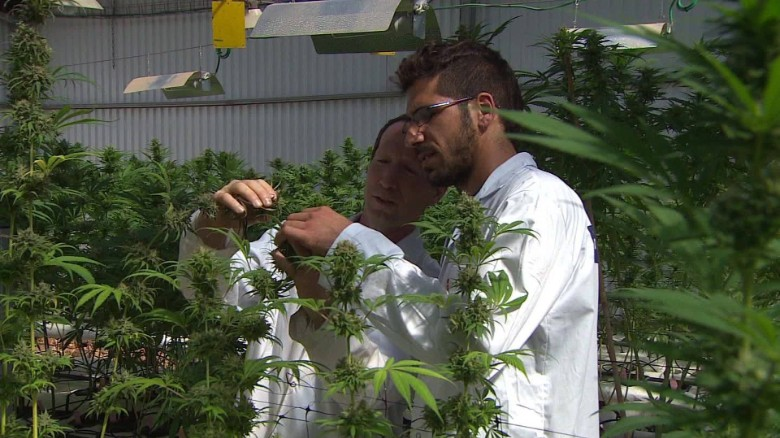 Israel's next export: Kosher cannabis?