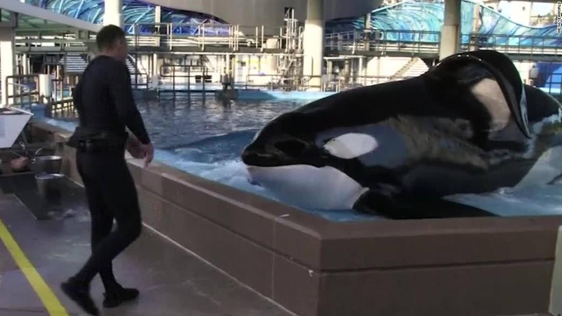 SeaWorld killer whale Tilikum may be dying