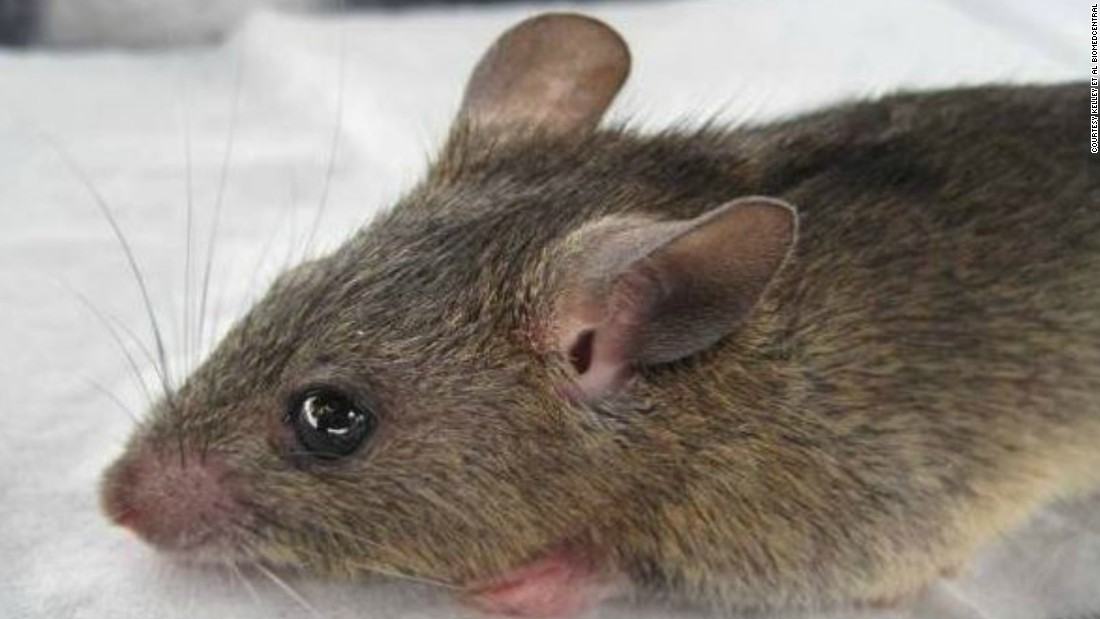 "The lassa fever is mainly spread by contact with the ""multimammate rat."" Human to human transmission is also possible."