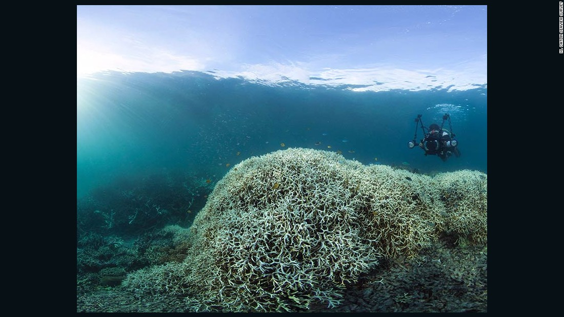 "Bleaching occurs when the marine algae that live inside corals die. Of the reefs surveyed in the northern third of the Great Barrier Reef, 81% are characterized as ""severely bleached."""