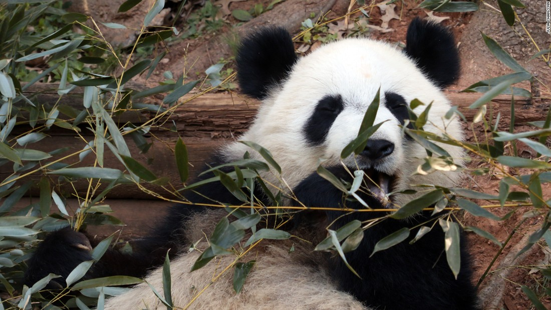 Zoo Atlanta is one of four zoos in the United States to have giant pandas as part of a partnership with China.