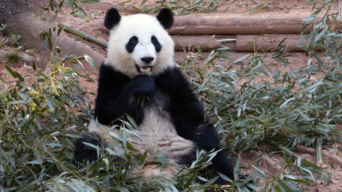 Giant pandas have strong jaw muscles that allow them to break bamboo.