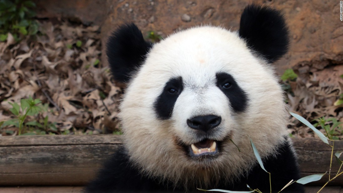 The giant panda is an endangered species with about 1,800 left in the wild.