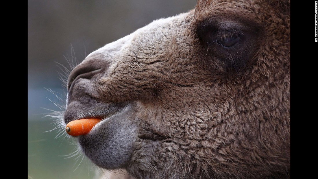 A Bactrian camel eats a carrot Sunday, March 20, at the Opel Zoo in Kronberg im Taunus, Germany.