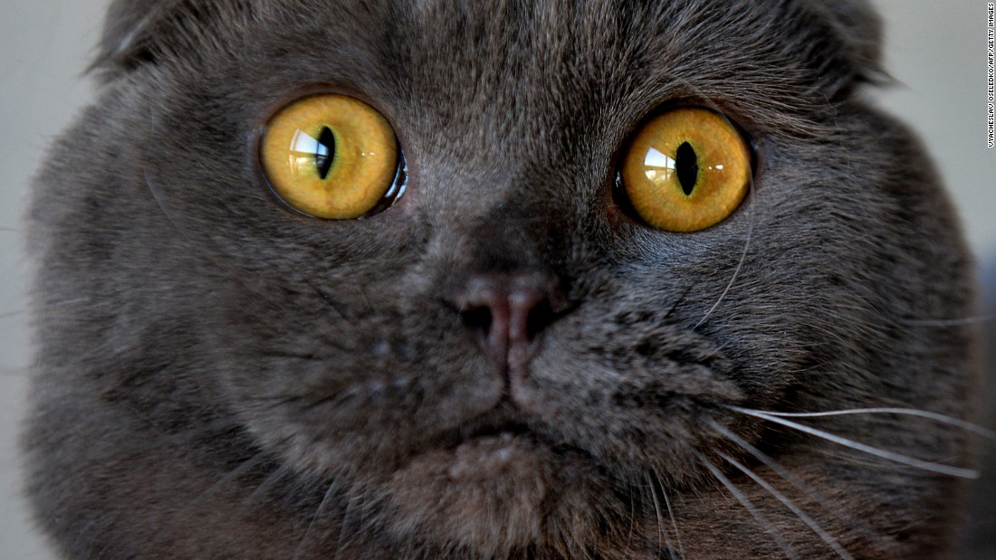 A Scottish Fold cat attends a cat exhibition in Bishkek, Kyrgyzstan, on Sunday, March 20.