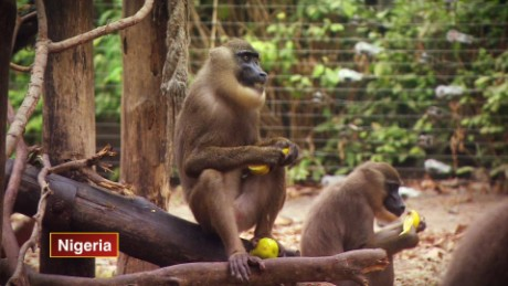 CNN IA NIGERIA DRILL MONKEYS_00000808