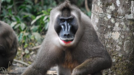 The drill monkey is bouncing back in Nigeria after presumed extinction