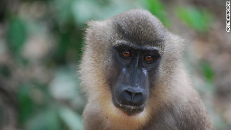 Female drill monkeys are only a fraction of the size of their bulkier male coutnerparts.