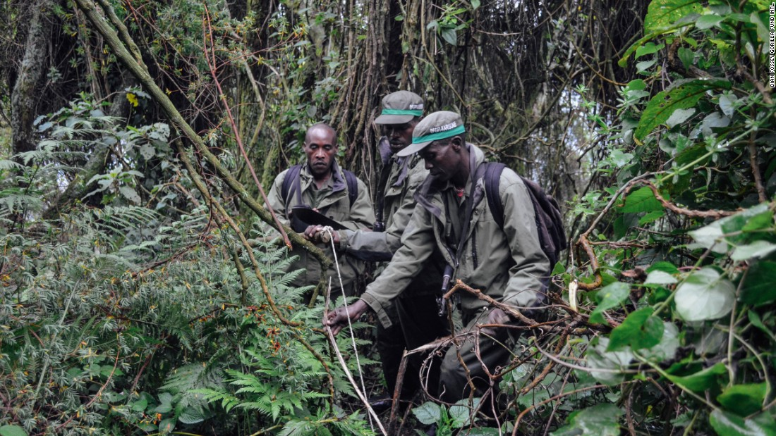 Anti-poaching patrols dismantle a snare in December 2014  in Volcanoes National Park, Rwanda.