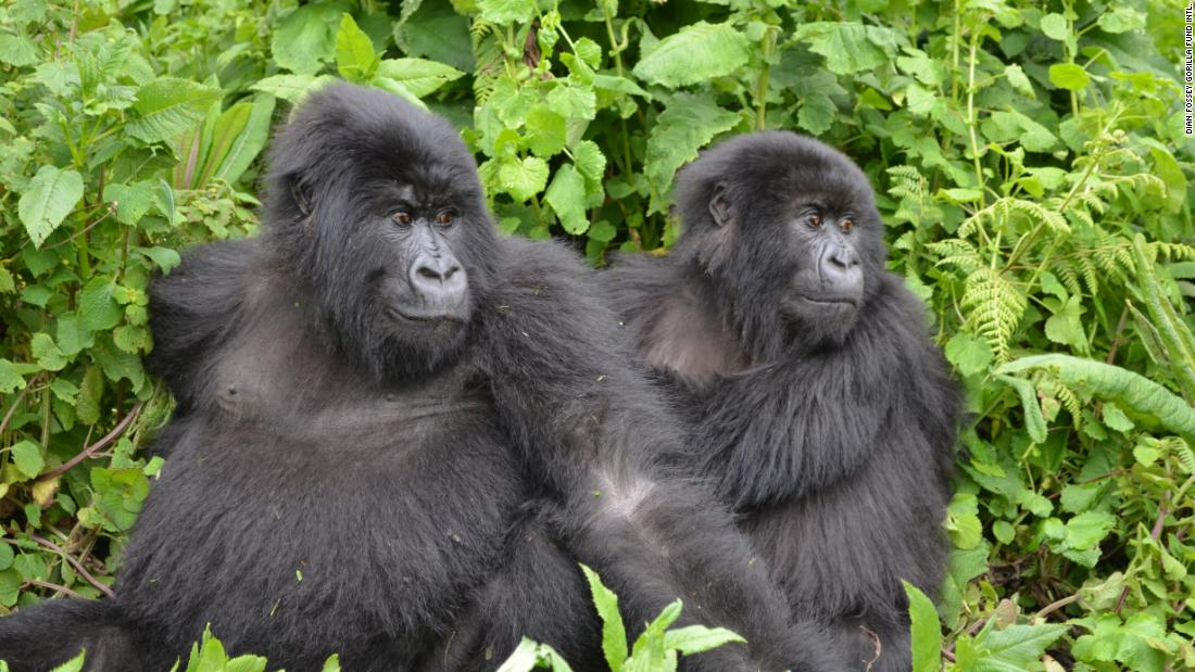 Mountain gorillas are protected by the Dian Fossey Gorilla Fund in Volcanoes National Park, Rwanda.