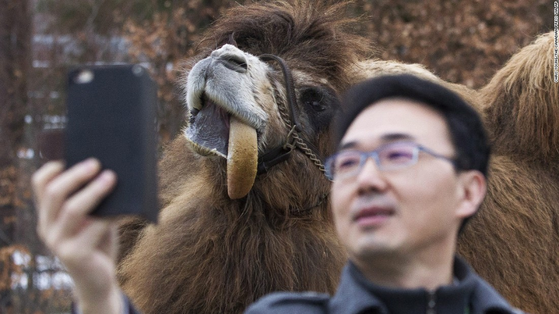 A journalist takes a selfie with Alice, a Bactrian camel, before a naming ceremony for two panda cubs at the Toronto Zoo on Monday, March 7.