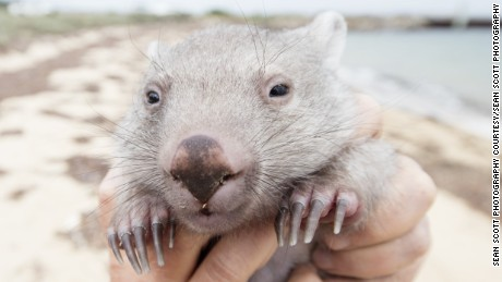Tourism Australia is holding an in internet contest (open only to Australian residents) for a to Flinders Island for 2-adults and cuddle time with Derek the Wombat, an 8-month old Wombat that was rescued from his mothers pouch after she was hit by a car in December 2015 and is under the care of a woman named Kate Mooney who lives on Flinders Island.