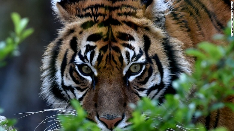 A Sumatran tiger called Tila is pictured in its area at the Bioparco of Rome on March 31, 2016.  / AFP / TIZIANA FABI        (Photo credit should read TIZIANA FABI/AFP/Getty Images)