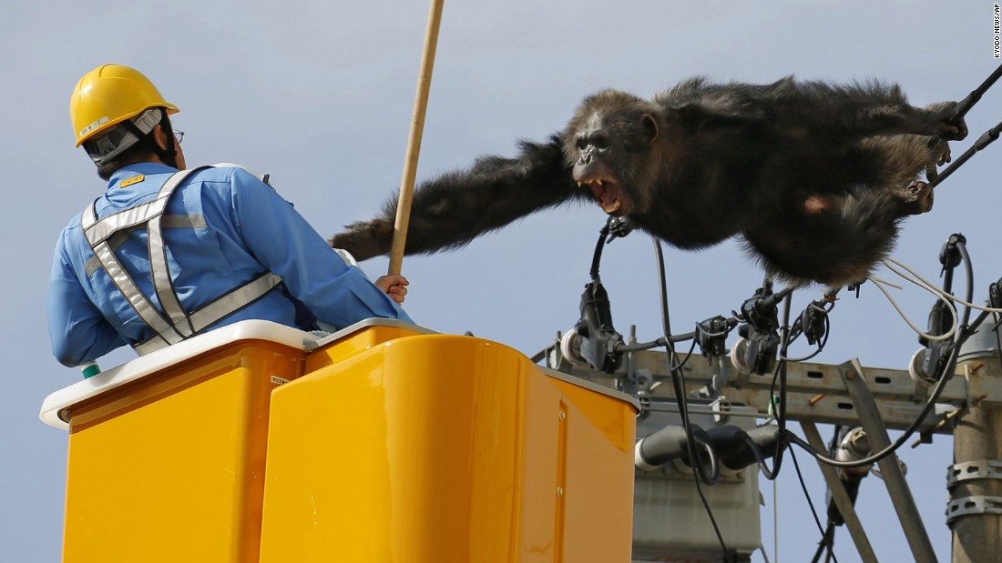A chimpanzee screams at a worker in Sendai, Japan, after it climbed an electric pole to avoid being captured on Thursday, April 14. The chimp escaped from a zoo in Sendai and was on the loose for nearly two hours.