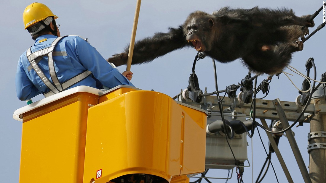 ChaCha, a male chimpanzee, screams at a worker in Sendai, Japan, on Thursday, April 14, after fleeing from a zoo.