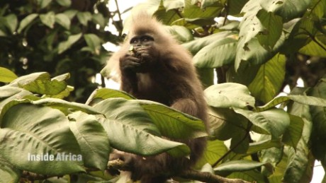 What does the future hold for Africa's rarest monkeys?