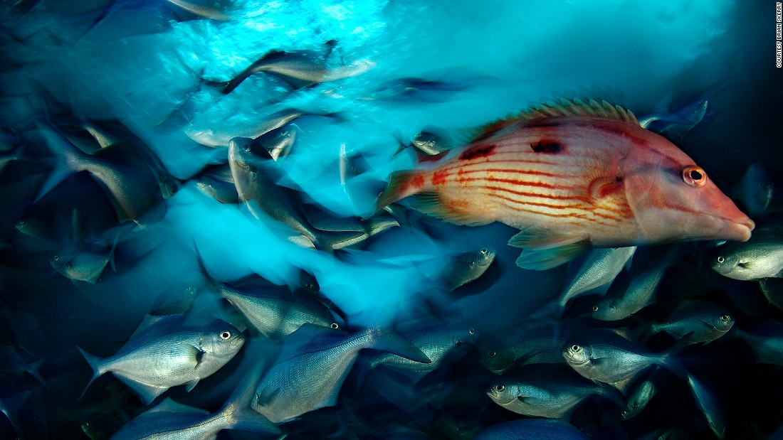 A red pigfish swims through a school of blue maomao in New Zealand's Poor Knights Islands, a marine reserve.