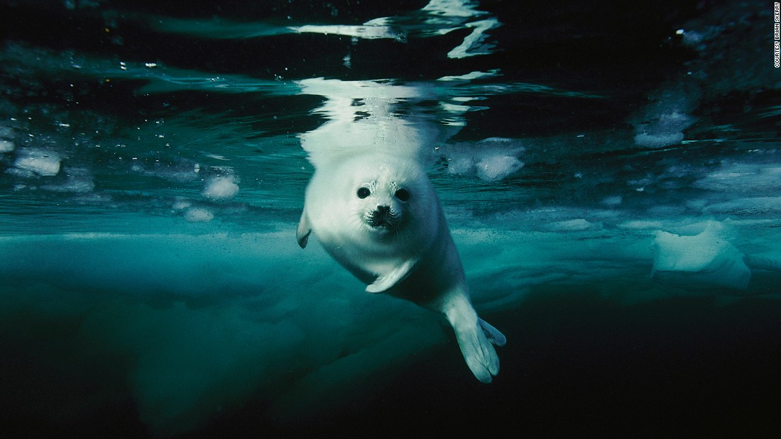 A harp seal pup makes its first swim in the icy waters of Canada's Gulf of St. Lawrence.