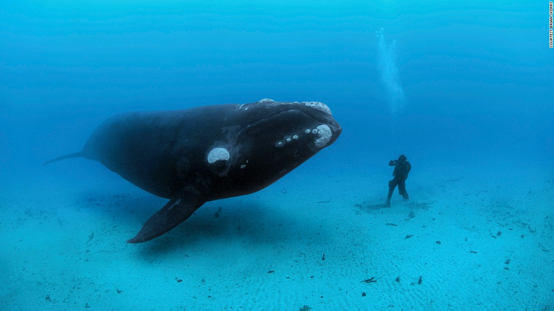A southern right whale (Eubalaena australis) approaches Brian Skerry's assistant off New Zealand's Auckland Islands.
